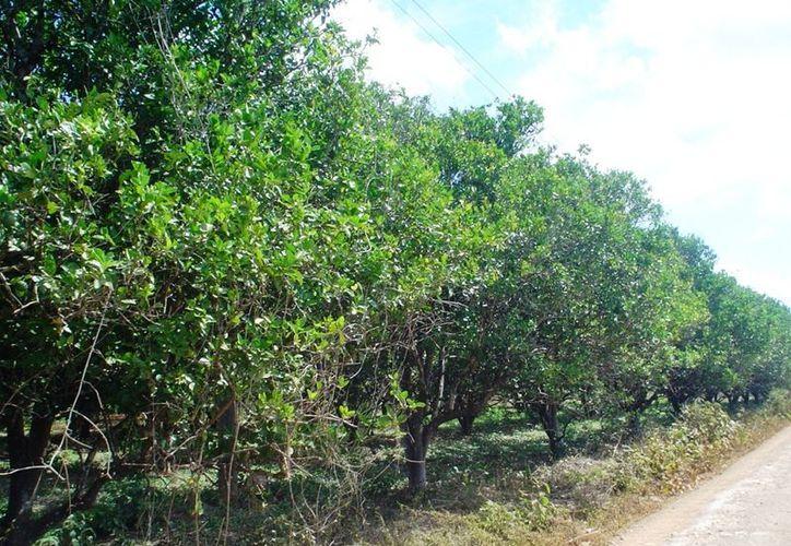 Las plantas de limonaria sirven como hospedadoras del vector que produce el virus del HLB o Dragón Amarillo. (Carlos Yabur/SIPSE)