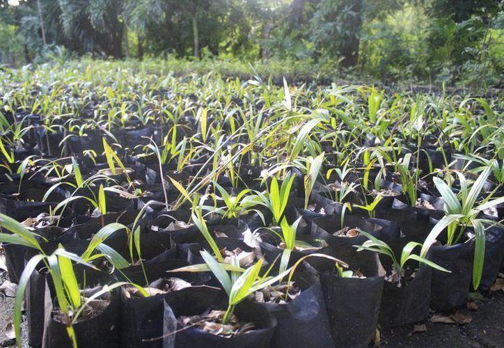 Pretenden iniciar en agosto a sembrar las plantas por la temporada de lluvias. (Harold Alcocer/SIPSE)
