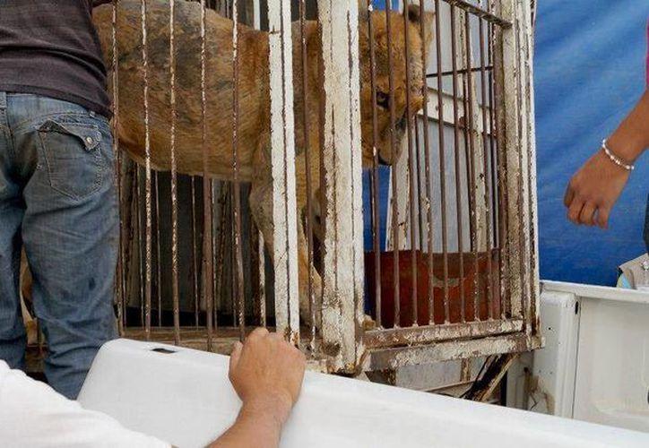 Morelia, de 20 años, permanecía encerrada en una jaula con una mala alimentación. (Foto: Adopta GDL)