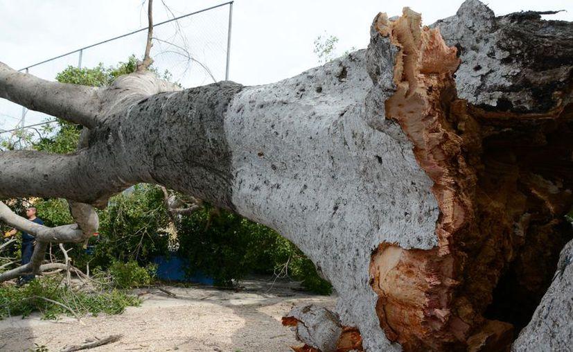 """Un enorme árbol cedió ante """"el peso de los años"""", en San Sebastián, y dañó una camioneta y el alumbrado público. (Victoria González/SIPSE)"""