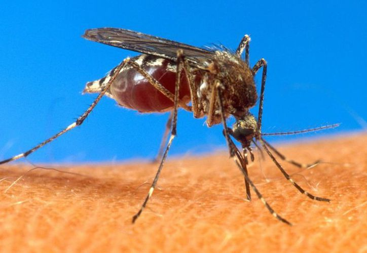 El virus, que es transmitido por mosquitos, provoca fuertes dolores articulares y fiebre. (Agencias)