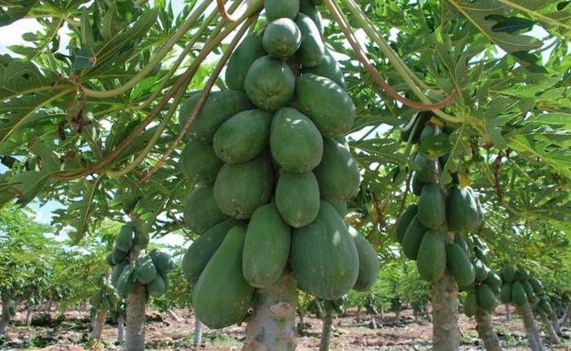 Han optado por sembrar otros productos en sus tierras y de esta manera no depender sólo de la caña de azúcar. (Cortesía/SIPSE)