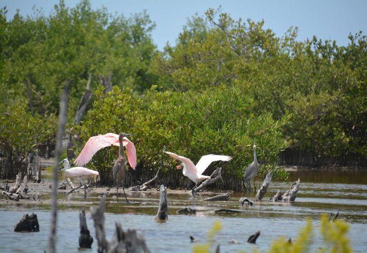En la zona anidan, y se reproducen, aves y otras especies. (Irving Canul/SIPSE)