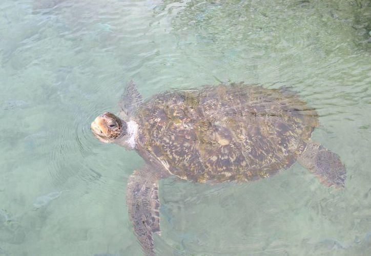 El CEA ha detectado que las tortugas marinas se estresan cuando los humanos las tocan. (Tomás Álvarez/SIPSE)
