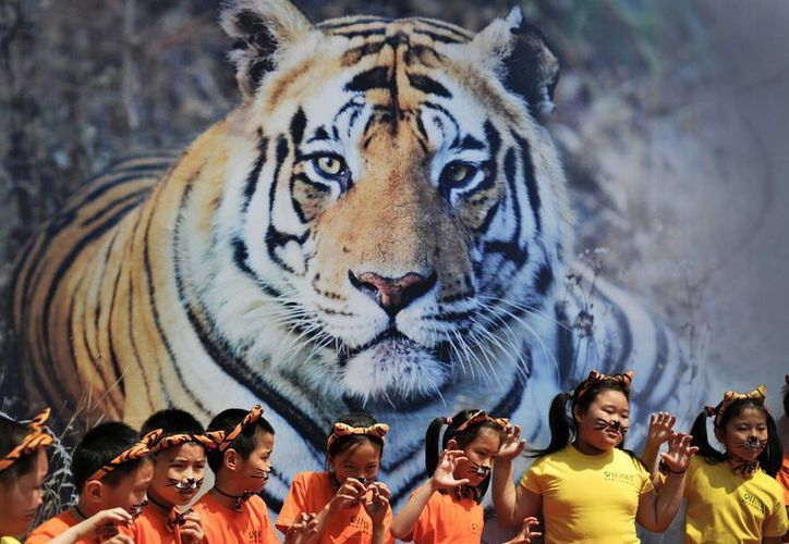 Se estima que en el mundo hay poco menos de cuatro mil tigres salvajes. (AP)