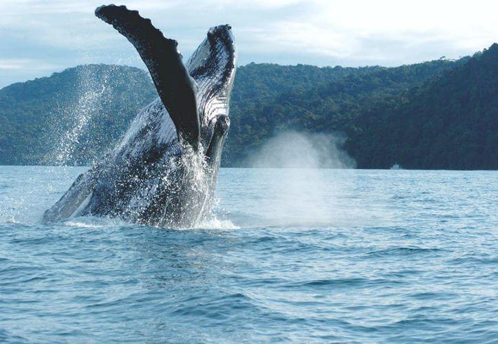 El nacimiento de las ballenas ocurre entre los meses de enero a abril. (Contexto/Internet)