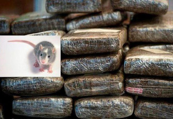 Los peritos aseguran que sabrán si los policías dicen la verdad, pues las ratas se intoxican con la marihuana. (Foto: Reina de la Selva).