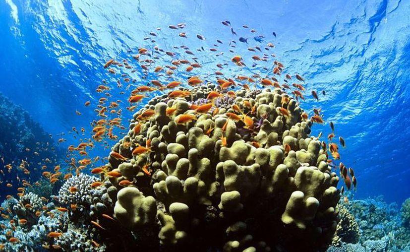 Los arrecifes en México se encuentran en una situación crítica por el cambio climático. (Milenio Novedades)