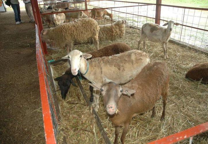 El consumo de carne de ovinos ha ido en aumento en los últimos años en el estado de Quintana Roo. (Edgardo Rodríguez/SIPSE)
