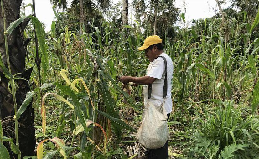 Los campesinos esperaban comercializar el maíz a tres mil 850 pesos la tonelada. (Javier Ortiz/SIPSE)
