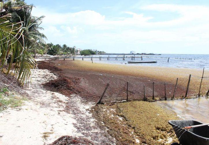 La Secretaría de Ecología colocará cinco kilómetros de barrera ecológica para contener el sargazo. (Ángel Castilla/SIPSE)