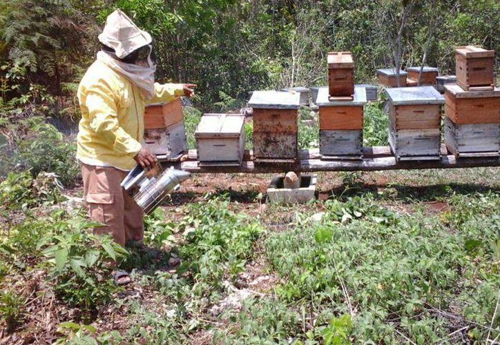 Los productores de miel en la zona maya confían en que las condiciones climáticas continúen favoreciendo las lluvias. (Benjamin Pat/SIPSE)