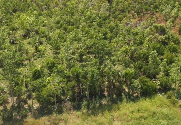 Planean plantar más de un millón de árboles. (Cortesía/SIPSE)