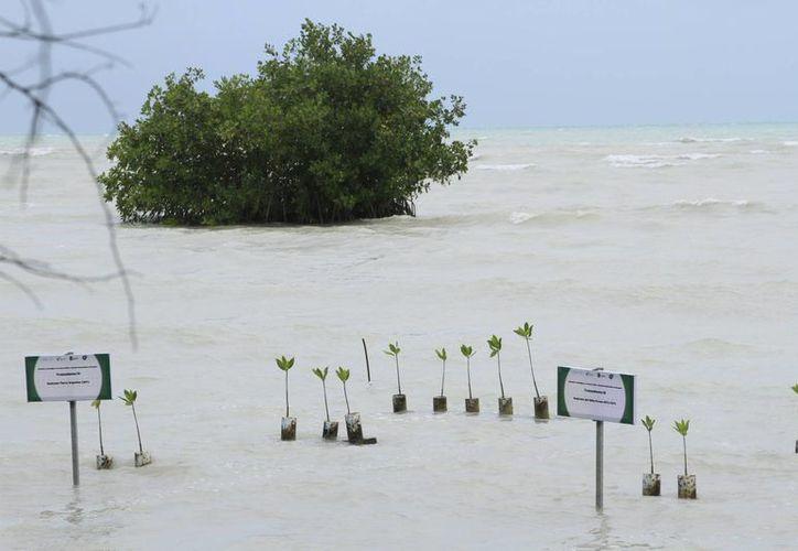 Investigadores crearon una estructura para sembrar manglar rojo en la Bahía de Chetumal. (Ángel Castilla/SIPSE)