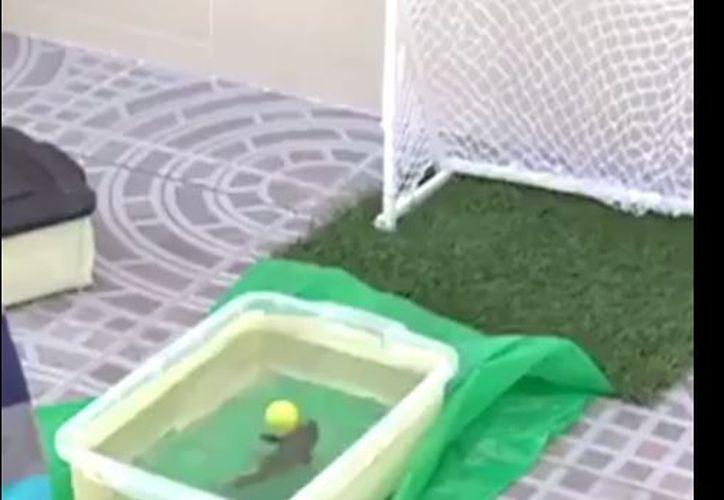 Cuando el pez detecta una pelota de plástico, la impacta con su cola. (Foto: YouTube)