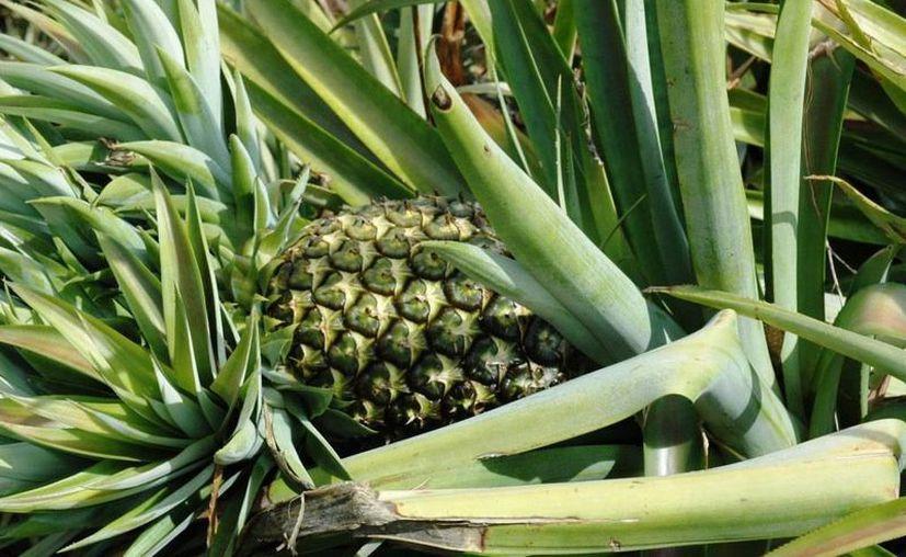 La producción de piña ha ido aumentando en el estado. (Edgardo Rodríguez/SIPSE)