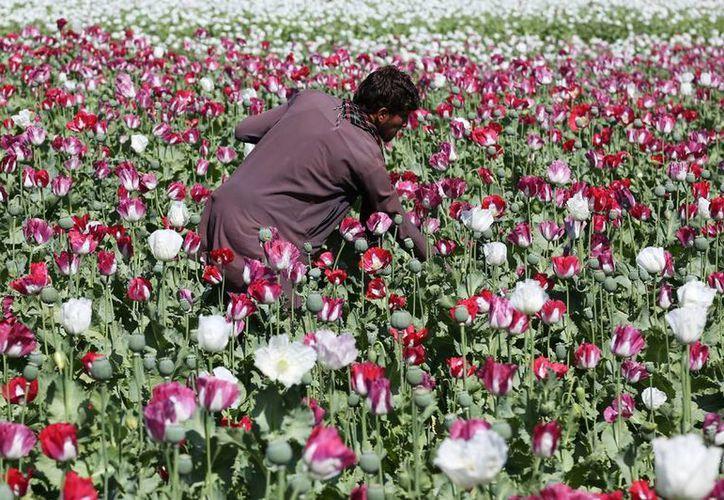 Un agricultor afgano trabaja en un campo de amapolas de opio, el ingrediente principal de la heroína, en el distrito de Khogyani de Jalalabad, al este de Kabul, Afganistán. (Agencias)