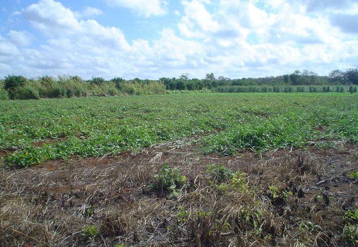 Son varios proyectos que se quedaron atorados en el 2012 para aplicarse en el sector agrícola, sin embargo los beneficiarios aun están en espera de que sean asignados los recursos. (Carlos Yabur/SIPSE)