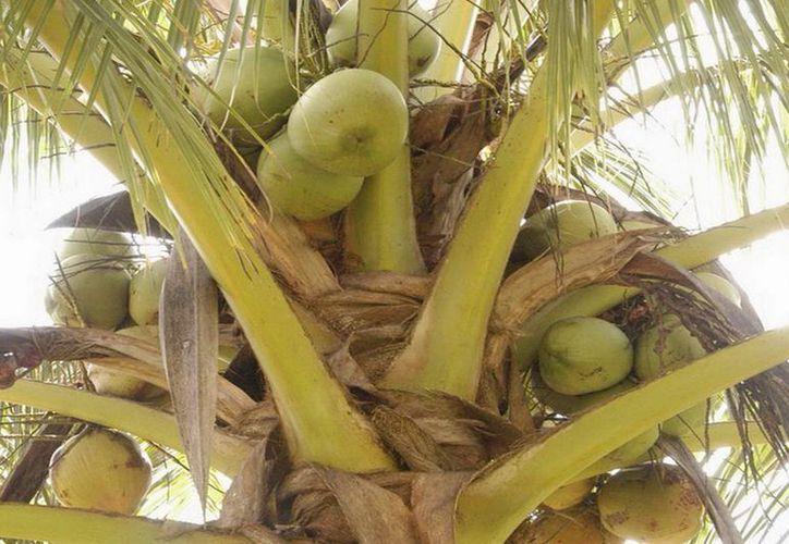 Fueron entregadas 31 mil plantas de coco híbrido para iniciar los cultivos en las regiones de Othón P. Blanco y Bacalar. (Redacción/SIPSE)