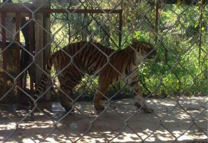 El tigre estaba abandonado en una jaula en el municipio de Parácuaro. (PROFEPA_Mx)