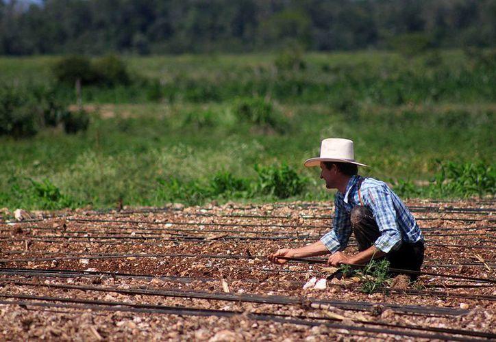 Los agricultores quintanarroenses llegan a trabajar en granjas de Alberta, Ontario, Québec, entre otras. (Harold Alcocer/SIPSE)