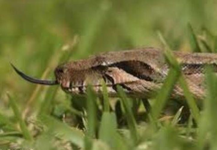 La serpiente que atacó al albañil estaba oculta entre bultos de cemento. (SIPSE)