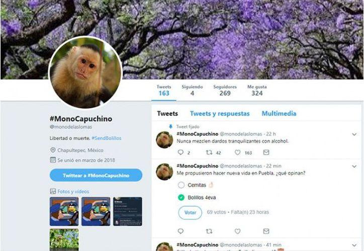 El mono capuchino 'abrió' una cuenta en Twitter. (Captura Twitter)