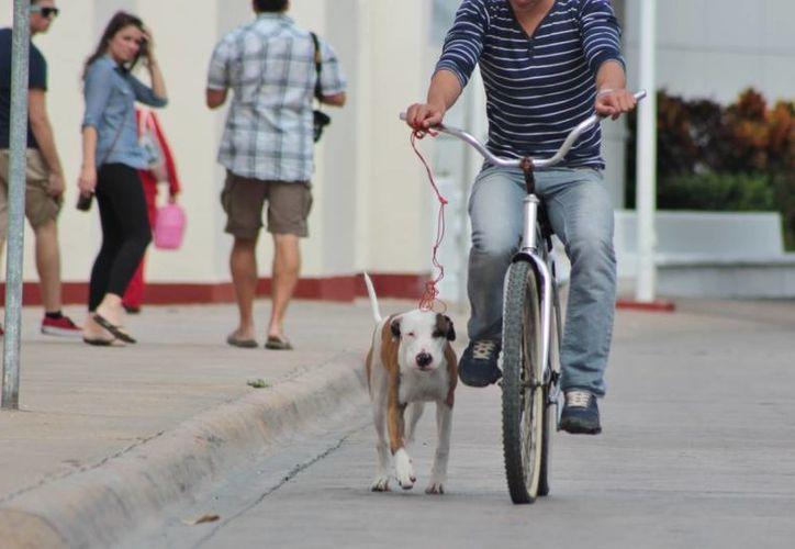 Hay algunos dueños que sí se hacen responsables de sus mascotas, pues hasta las sacan a pasear por las calles de la ínsula. (Gustavo Villegas/SIPSE)