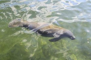 El manatí, mamífero emblemático de Quintana Roo