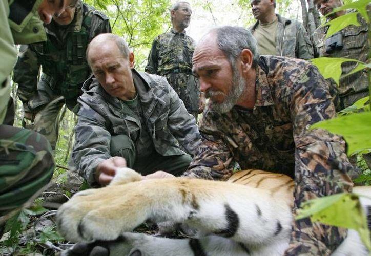 El presidente de Rusia, Vladimir Putin, dejó en libertad a tres tigres en la remota de la región de Amur hace dos años. (Archivo/Reuters)