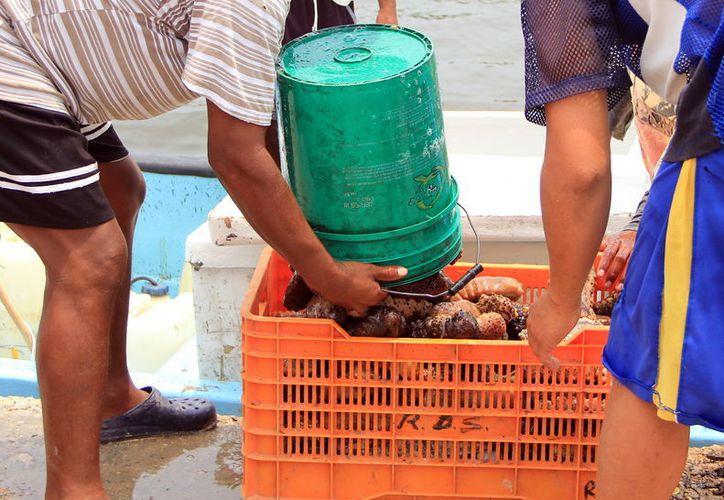 La pesca de pepino de mar es una de las actividades que más ingresos deja a las familias de Yucatán, por lo que los pescadores han estado presionado a las autoridades para que levanten la veda. (Archivo/Milenio Novedades)
