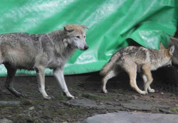 Imagen de la madre y sus dos cachorros, que fueron concebidos por medio de inseminación artificial. (Notimex)