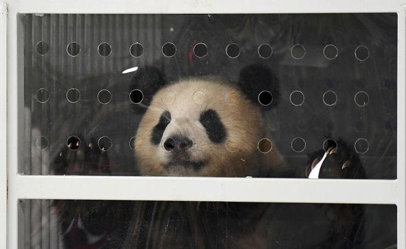 Men Meng y Jiao Qing viajaron 12 horas desde Chengdu, en el sudeste de China. (Foto: AP)