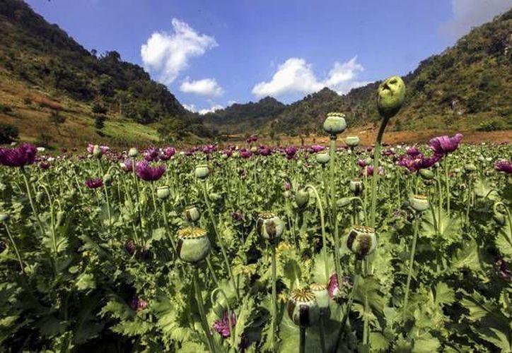 México es el tercer productor mundial de heorína, droga que deriva del cultivo de amapola (foto). (ansalatina.com)