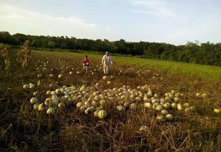 En las zonas agrícolas del municipio de Bacalar se cosecharon más de 200 toneladas de pepita. (Jesús Caamal/SIPSE)
