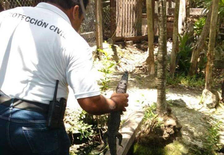 Un cocodrilo pequeño fue asegurado dentro de una vivienda de Playa del Carmen. (Daniel Pacheco/SIPSE)