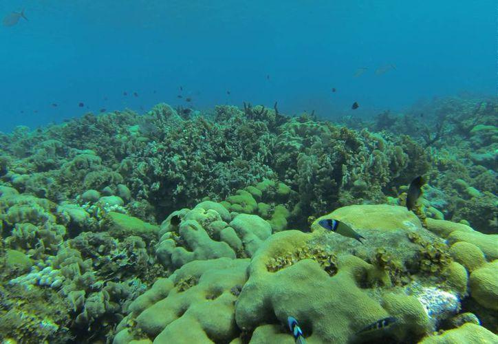 La barrera arrecifal es considerada como una de las tres más importantes del mundo. (Israel Leal/SIPSE)