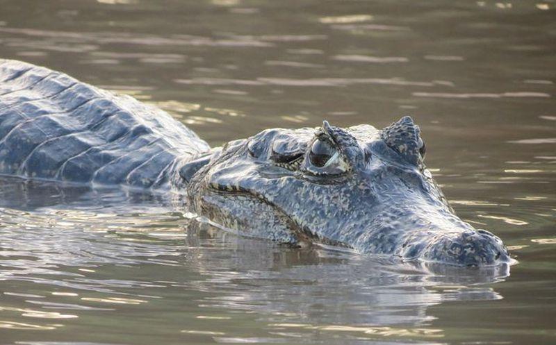 Por un hechizo un cocodrilo devolvió un cadáver — Indonesia
