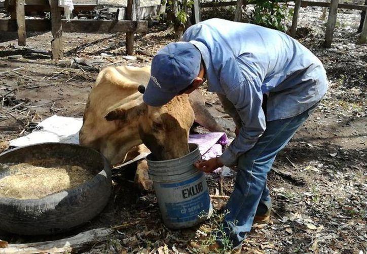 """Con el programa  """"Crédito ganadero a la palabra"""", iniciativa que arribó a la entidad el pasado 2 de marzo, los productores podrán adquirir vientres bovinos y ovinos. (Archivo/Sipse)"""