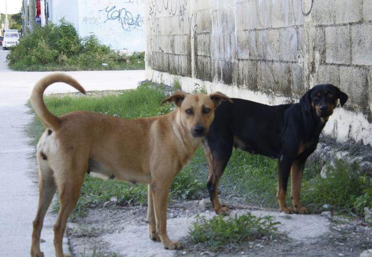 En 2012 se estimaba que unos 150 mil perros habitaban en las calles del municipio de Benito Juárez. (Jesús Tijerina/SIPSE)