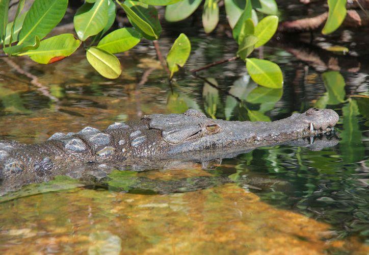 Especialistas estiman que en Punta Sur viven unos 400 cocodrilos. (Foto: Gustavo Villegas)
