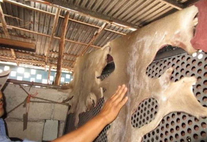 Las pieles presentaban agujeros que podrían relacionarse con la caza ilegal de los venados. (Profepa)