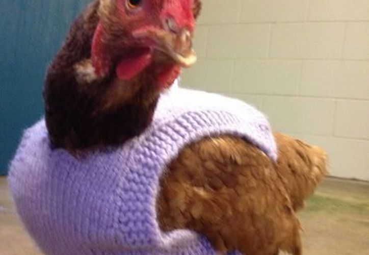 La gallina, de nombre Olivia, será atendida en reconocimiento a Ricky Martin por convertirse en vegetariano. (EFE)