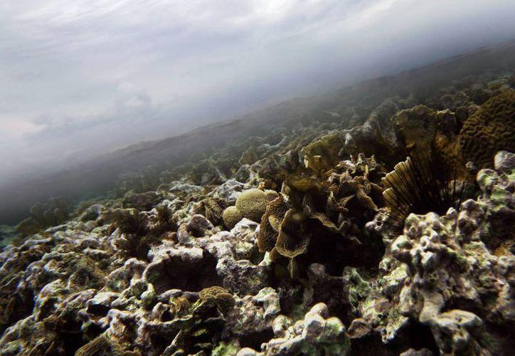 Corales submarinos frente a la costa de Belice, riqueza natural que se vería afectada con las exploraciones para encontrar petróleo. (Agencias)
