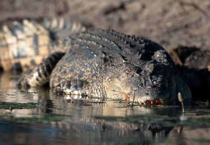 La carne de cocodrilo es considerada ecológicamente pura y de bajo contenido graso. (Archivo/AP)