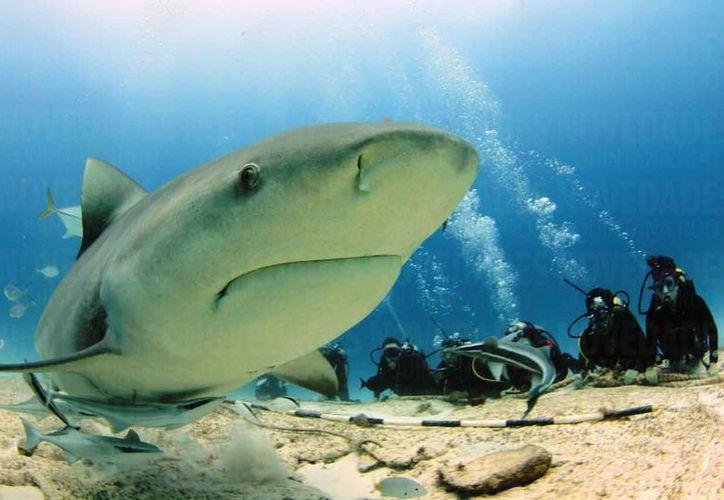 Confían en que el área de avistamiento del tiburón en Playa del Carmen esté blindado ante el proyecto. (Foto: Daniel Pacheco)