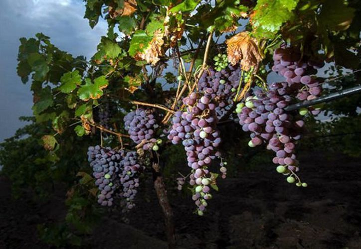 Para los próximos tres quinquenios se prevé un aumento en el consumo de vino tinto entre los consumidores mexicanos, por lo que los productores de uva de esta región se preparan para ser líderes nuevamente en el sector, como lo fueron en los años 70 del siglo pasado. (Notimex)