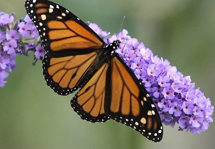 Las autoridades de México descartaron en septiembre pasado que la mariposa monarca se encontrara en peligro de extinción. (AP)