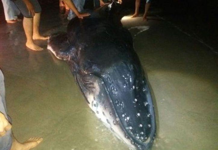 Los expertos rescataron con vida a la ballena. (Patricia Briseño/Excélsior)