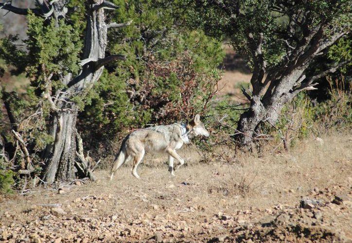 Piden a ganaderos no temer a los lobos, pues se alimentan de pequeños mamíferos. (Notimex)